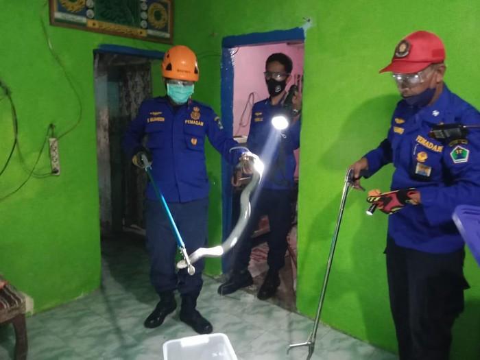Dua warga Kota Malang jadi korban semburan ular kobra. Mereka dilarikan ke rumah sakit untuk mendapatkan perawatan medis.