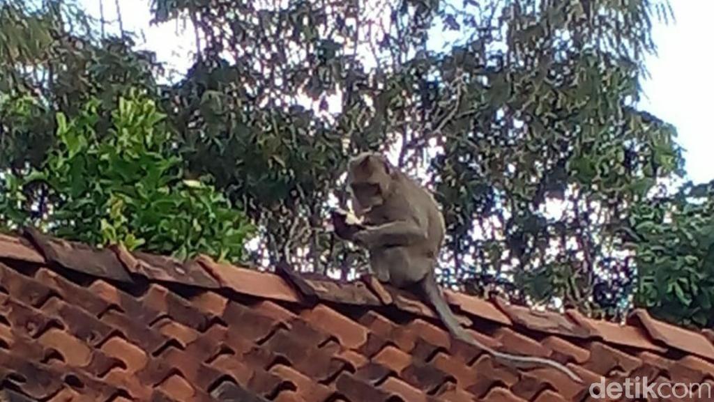 Kawanan Monyet Berkeliaran di Permukiman, Warga Ciamis Resah