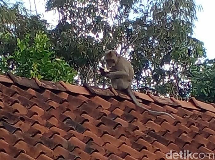 Warga Ciamis diresahkan dengan kehadiran kawanan monyet