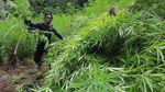 Dua Hektar Ladang Ganja Siap Panen Dimusnahkan di Aceh