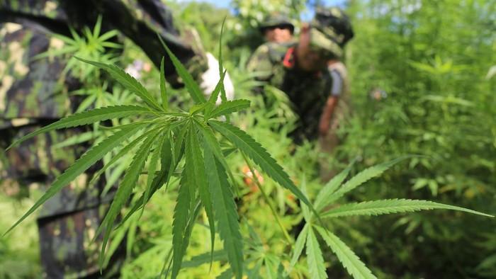 Petugas gabungan dari BNN dan TNI-Polri memusnahkan 2 hektar ladang ganja di Aceh. Pemusnahan dilakukan guna cegah penyalahgunaan dan peredaran gelap narkoba.