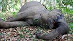 Penampakan Gajah Betina Berusia 50 Tahun yang Mati di Riau