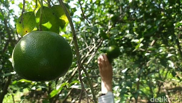 Di tempat ini pengunjung hanya cukup membayar tiket masuk Rp 5 ribu saja bisa makan jeruk sepuasnya di kebun.(Dadang Hermansyah/detikcom)