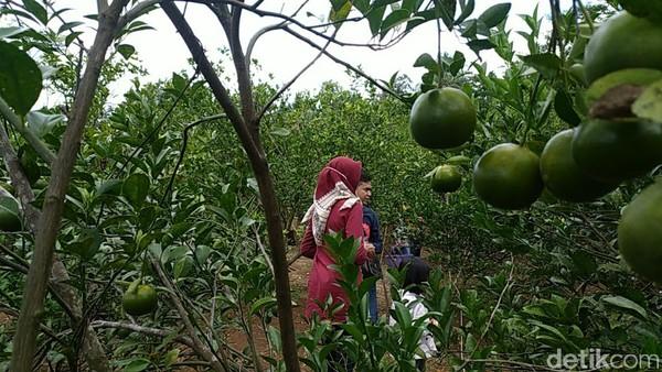 Di kebun Ladur ini, pengunjung bisa menyicip jeruk sepuasnya. Kecuali kalau mau dibawa pulang untuk oleh-oleh, memetik sendiri tapi pulangnya harus ditimbang terlebih dulu, harganya Rp 15 ribu per kilogram.(Dadang Hermansyah/detikcom)
