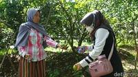 Petik Sendiri, Wisata Ini Tawarkan Makan Jeruk Sepuasnya