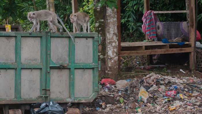 Seekor monyet ekor panjang (Macaca fascicularis) mengais makanan di tumpukan sampah limbah rumah tangga di Gunung Kencana, Lebak, Banten, Kamis (17/6/2021). Kawanan monyet ekor panjang tersebut turun ke jalan raya untuk mencari makan di tumpakan sampah limbah rumah tangga dan tidak mendiami hutan Gunung Kencana akibat habitatnya terganggu. ANTARA FOTO/Muhammad Bagus Khoirunas/hp.