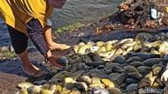 Puluhan Ton Ikan di Waduk Darma Kuningan Mati Mendadak