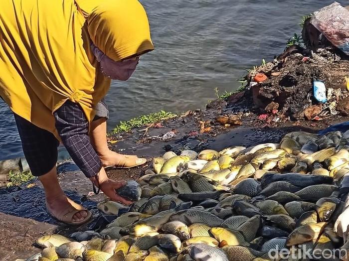 Puluhan ton ikan keramba di waduk Darma mati mendadak