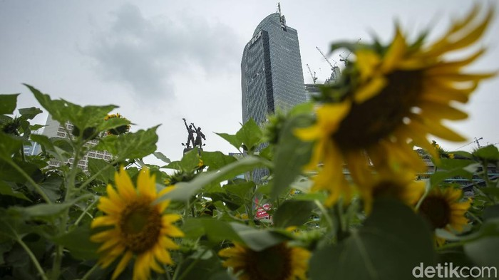 Petugas dari Dinas Pertamanan DKI Jakarta menyusun bunga matahari di Kawasan Bundaran HI, Jakarta, Jumat (18/6/2021). Pemasangan bunga matahari itu diketahui untuk mempercantik Ibu Kota jelang hari jadi.