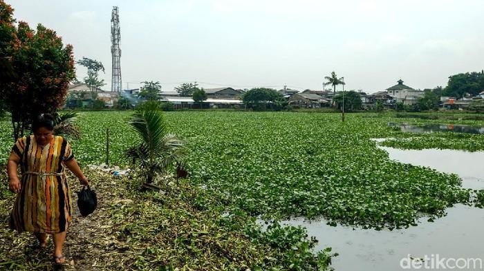 Setu Rompong di Ciputat Timur, Tangerang Selatan, dicemari eceng gondok. Tanaman ini nyaris menutupi seluruh permukaan setu.