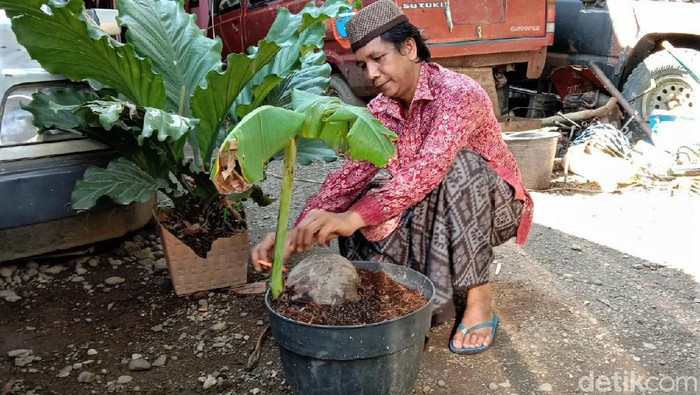 Seorang warga Kebumen mengaku temukan pohon pisang yang tumbuh dari buah kelapa. Temuan itu pun kemudian viral di media sosial. Seperti apa potretnya?