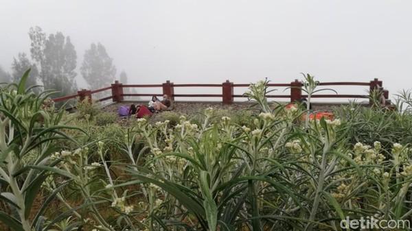 Edelweis di Desa Wisata Edelweis Wonokitri, Kecamatan Tosari, Kabupaten Pasuruan.
