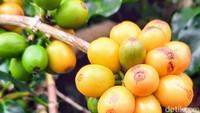 Keunikan Kopi Kuning Bondowoso yang Cantik Warnanya dan Mahal Harganya