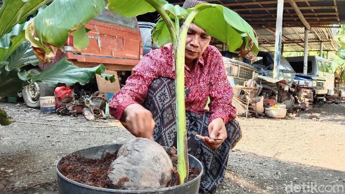 pohon pisang tumbuh dari buah kelapa