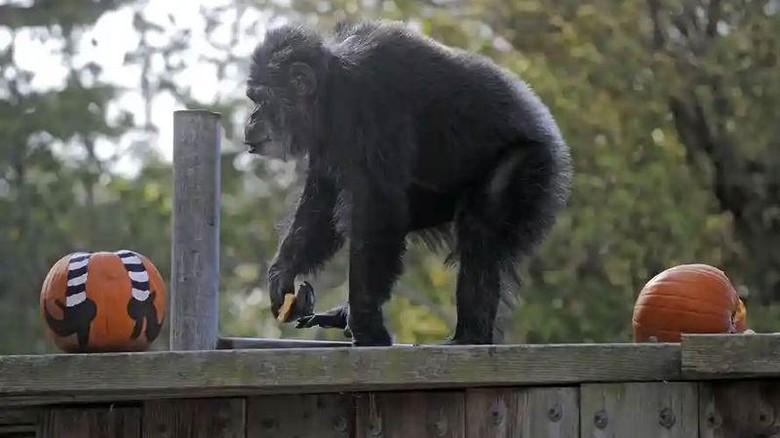Simpanse Cobby