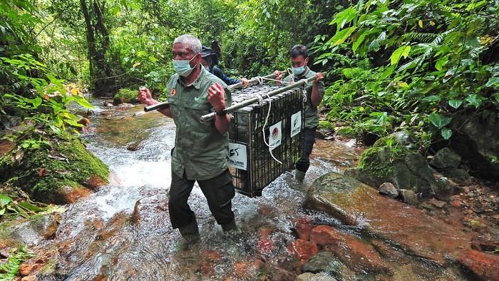 Seekor siamang (Symphalangus syndactylus) berdiri di atas kandang transpor saat dilepasliarkan di Taman Nasional Kerinci Seblat (TNKS), Sungai Penuh, Jambi, Selasa (22/6/2021). BKSDA Jambi melepasliarkan tiga ekor siamang dewasa dan seekor tapir (Tapirus indicus) dewasa yang sebelumnya mendapatkan perawatan dan pelatihan di Tempat Penyelamatan Satwa (TPS) BKSDA setempat selama 3-7 bulan. ANTARA FOTO/Wahdi Septiawan/foc.