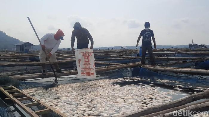 Petani karamba di Waduk Gajah Mungkur, Wonogiri, menjaring ikan budi daya yang mati mendadak, Rabu (23/6/2021).