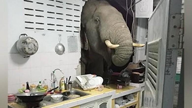 Gajah nyasar ke dapur