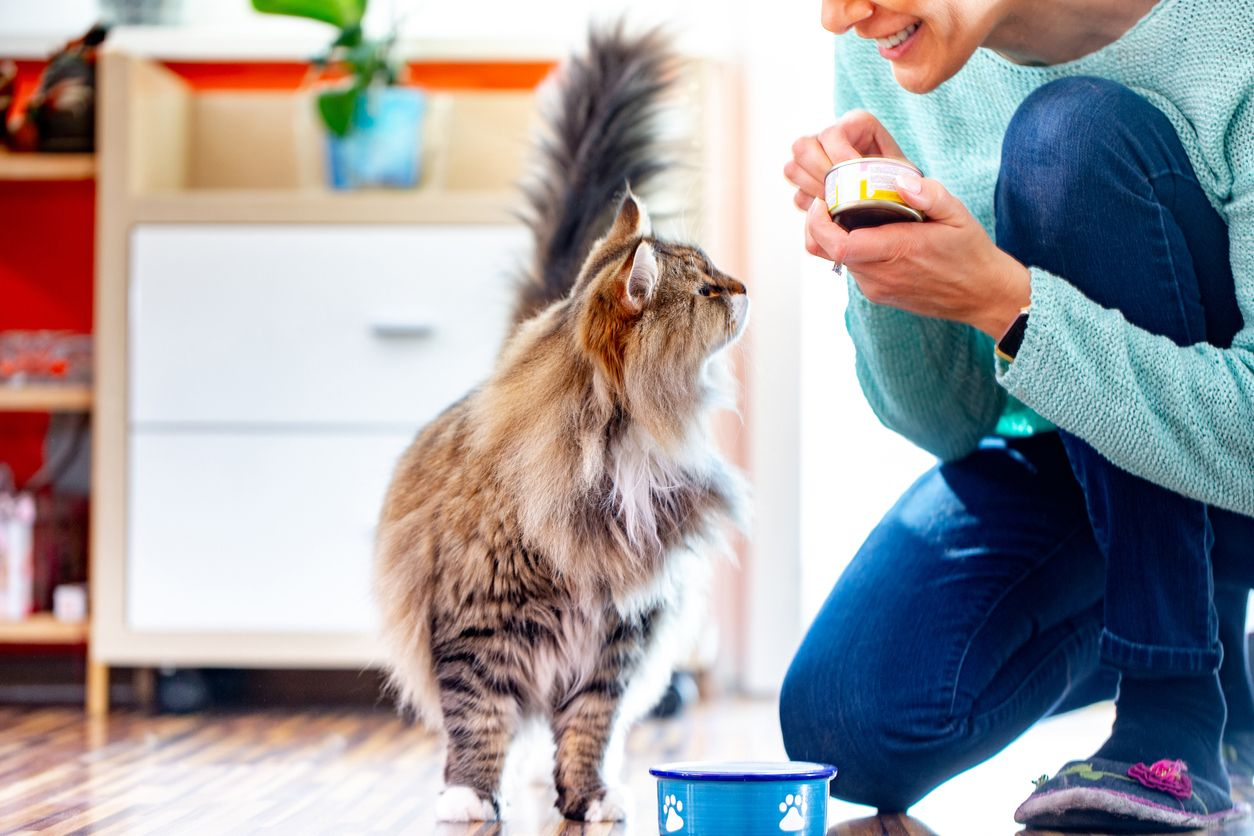 Maine coon cat eating her food
