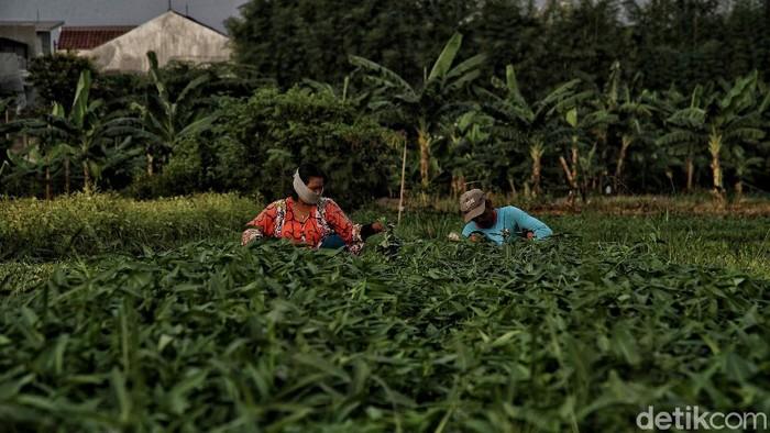 Pandemi COVID-19 belum reda di Tanah Air. Kondisi itu membuat para petani di Jakarta berupaya sekuat tenaga agar tetap dapat bertahan hidup di masa pandemi.