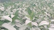 Hujan Abu Dampak Erupsi Juga Mengguyur Lereng Merapi Sisi Klaten
