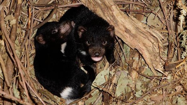 Untuk menyelamatkan populasi, sejumlah Tasmanian Devil dipindahkan ke Pulau Maria di lepas pantai Timur Tasmania pada tahun 2012. (Getty Images)
