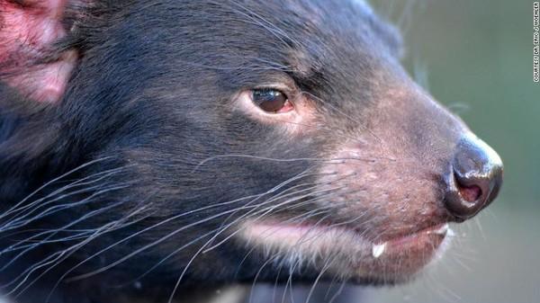 Tasmanian Devil mengalami masa sulit selama 20 tahun akibat penyakit menular yang disebut tumor wajah setan. (dok DR. Eric J. Woehler)