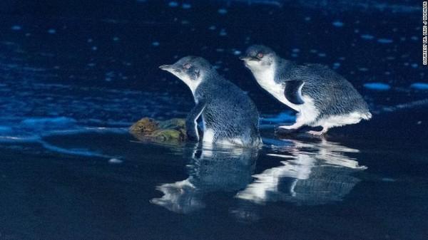 Namun kehadirannya justru mengganggu populasi penguin di dalamnya. Pulau Maria memang menjadi tempat bagi kehidupan penguin terkecil di dunia (dok DR. Eric J. Woehler)