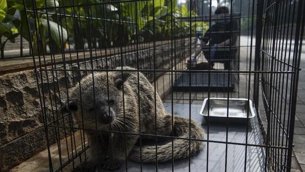 Pekerja menjemur berang-berang sebagai bagian dari perawatan satwa saat Jakarta Aquarium dan Safari (JAQS) tutup untuk sementara di Jakarta, Jumat (25/6/2021).