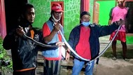 Mak Tratap! 3 Ular Kobra Ketahuan Ngumpet dalam Dapur di Klaten