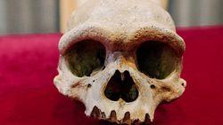 Ditemukan Tengkorak Manusia Naga, Diyakini Kerabat Dekat Homo sapiens