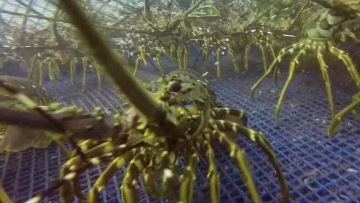 Pelaku wisata di Banyuwangi banting stir ke budidaya lobster air laut. Hasilnya, mereka bisa ekspor lobster ke beberapa negara sepeti Vietnam, Singapura dan China.