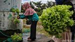Geliat Pertanian Hidroponik di Pesisir Sumatera Utara