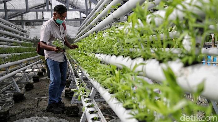 Hidroponik dipilih sejumlah warga di Sumut untuk penuhi kebutuhan sayuran hijau. Aktivitas pertanian hidroponik pun jadi langkah memperkuat ketahanan pangan.