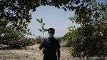 Menjaga Kelestarian Pantai Sejarah Lewat Aksi Tanam Mangrove