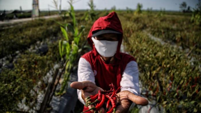 Desa Lubuk Cuik, Kecamatan Lima Puluh Pesisir, Kabupaten Batu Bara, jadi sentra produksi cabai di Sumatera Utara.