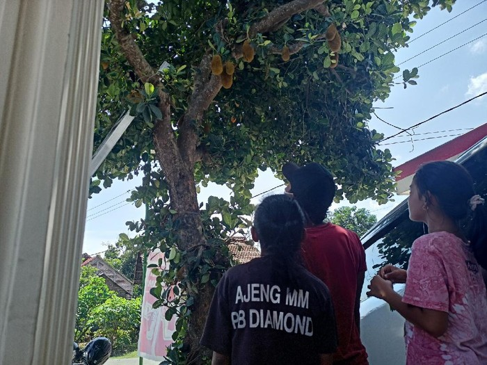 Pohon Nangka Berbuah Durian