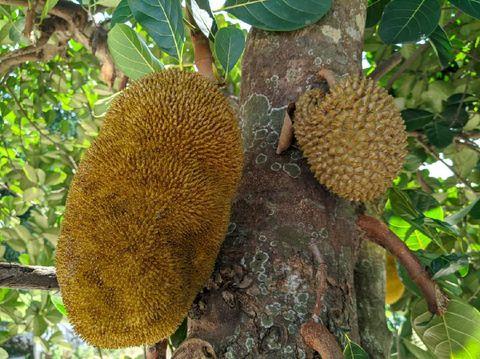 Pohon Nangka Tumbuh Buah Durian