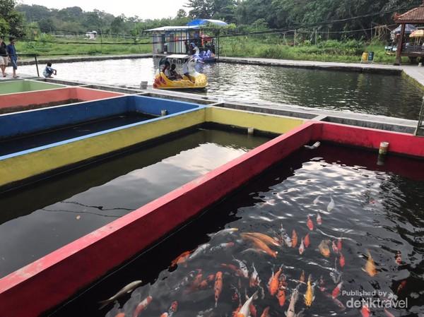 bebek air dan kolam ikan