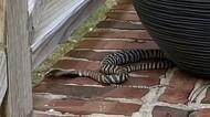 3 Hari Kabur, Ular Kobra Penyembur Bisa Berhasil Diamankan