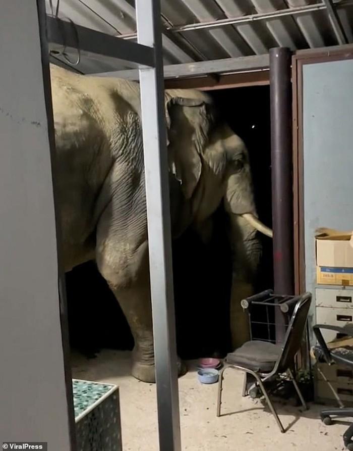 Duh! Sering Curi Makanan, Gajah Ini Hobi Bobol Dapur Rumah Warga