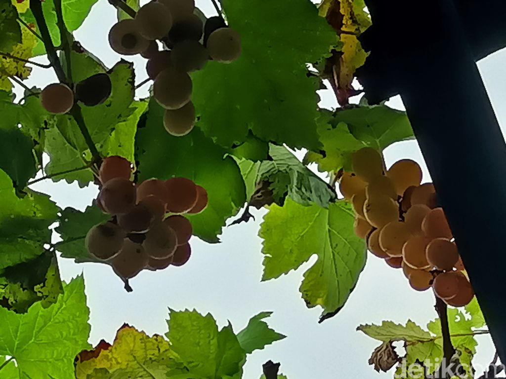 Renyah Legit! Anggur Prabu Bestari Probolinggo yang Tak Kalah dengan Anggur Impor