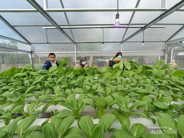 Dengan sinar UV dari lampu ultraviolet yang dipasang di atas tanaman membuat panennya lebih cepat