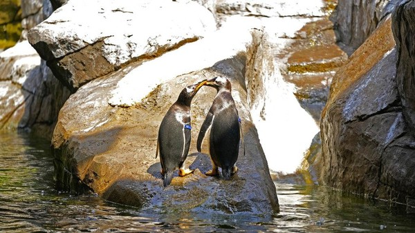 Pairi Daiza yang dikenal sebagai salah satu kebun binatang terbesar di Eropa menambahkan 10 ekor penguin Gentoo sebagai penghuni baru kebun binatang tersebut.