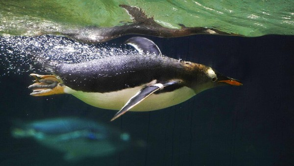 Penguin Gentoo dikenal sebagai penguin yang memiliki kemampuan berenang dengan cepat. Spesies penguin yang ada di genus Pygoscelis ini bahkan dijuluki sebagai penguin perenang tercepat di dunia.