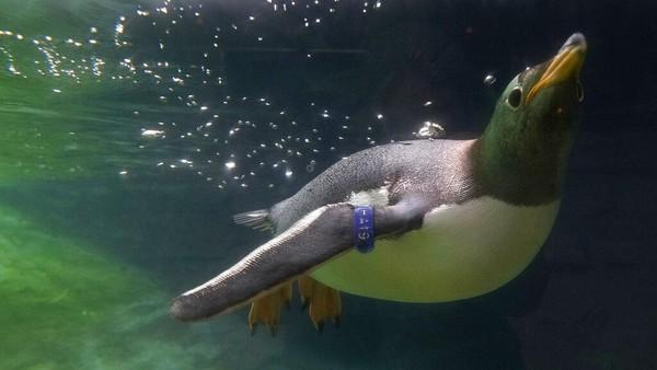 Penguin Gentoo diketahui hidup di semenanjung Antartika dan sejumlah pulau di Sub-Antartika.