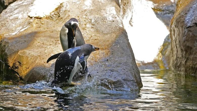 Kebun binatang Pairi Daiza kedatangan penghuni baru. Salah satu kebun binatang terbesar di Eropa itu menambahkan 10 ekor penguin Gentoo sebagai koleksinya.
