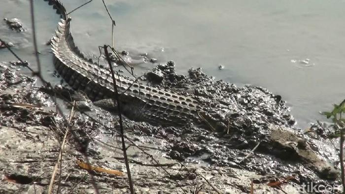 Buaya muara kembali menampakkan diri di Sungai Bengawan Solo, Desa Parengan, Kecamatan Maduran. Kemunculan buaya muara menyedot perhatian warga.