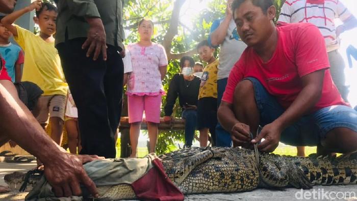Tiga pencari ikan menangkap seekor buaya muara di Sungai Sadar, Kabupaten Mojokerto. Mereka sempat dibuat jatuh bangun selama 30 menit, saat menangkap buaya sepanjang 2 meter tersebut.