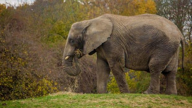 Pelepasliaran gajah dari Inggris ke Kenya